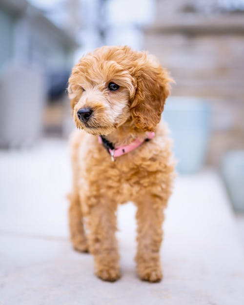 Fluffy cute poodle with soft ears