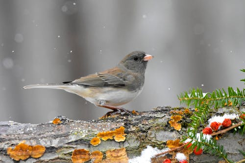 Close-Up Shot of a Dark-Eyed Junco Perched on a Tree Branch