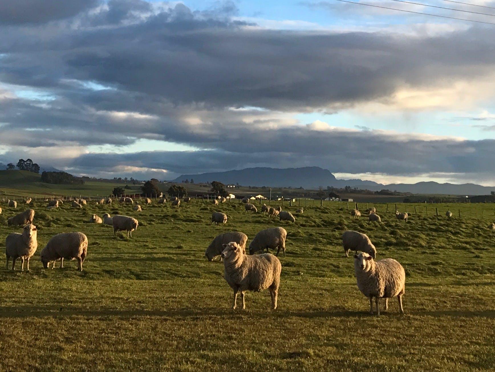 Free stock photo of farm, late sun, sheep
