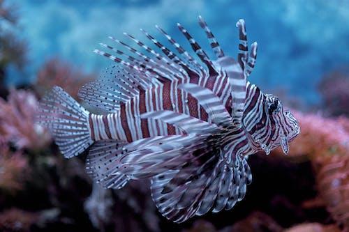 Close-Up Shot of a Lionfish in an Aquarium