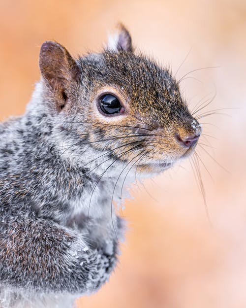 Curious squirrel with shiny eyes staring