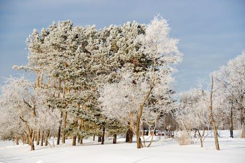 White Cherry Blossom Tree on Snow Covered Ground Under Blue Sky