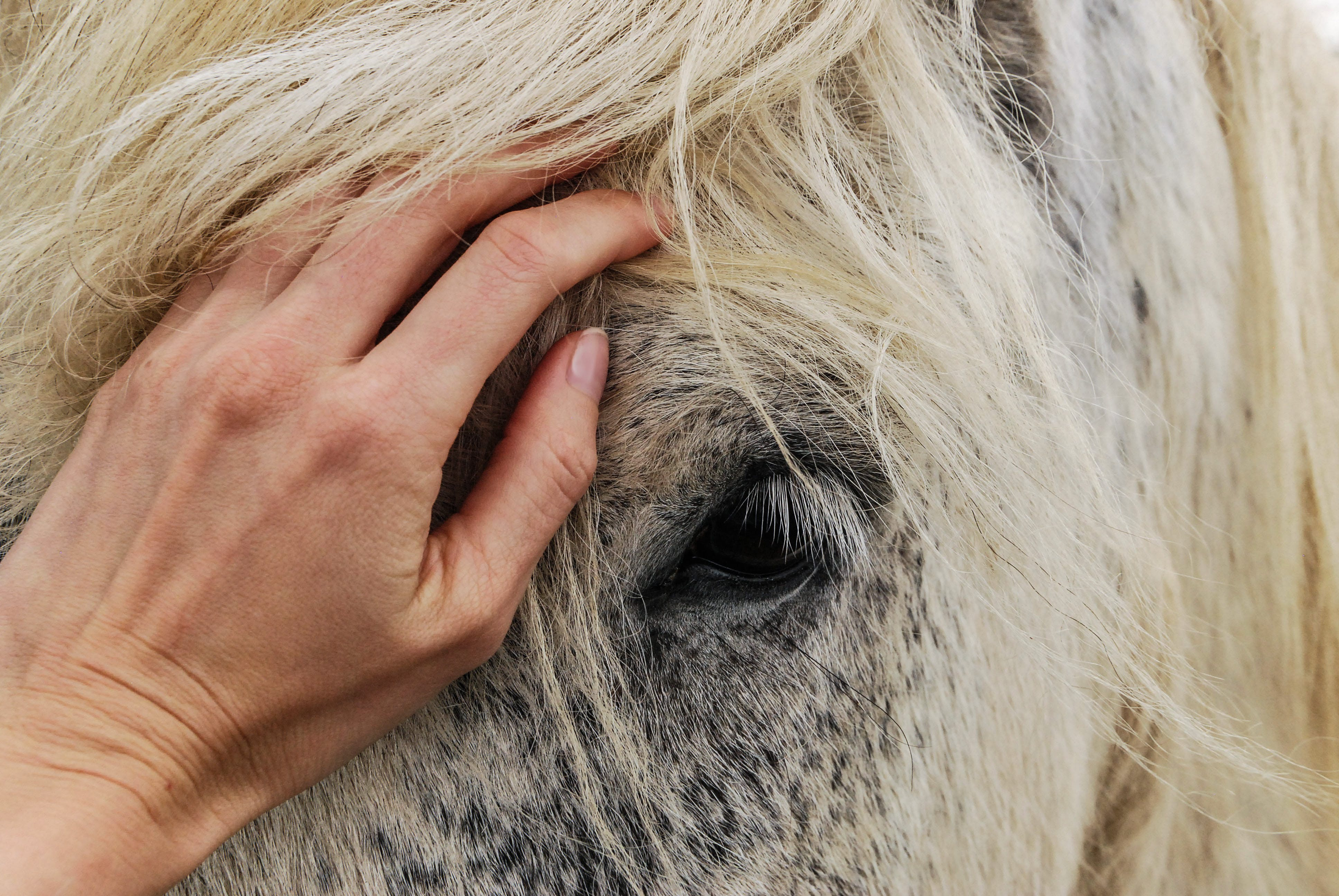 Person's Hand on White Horse's Face