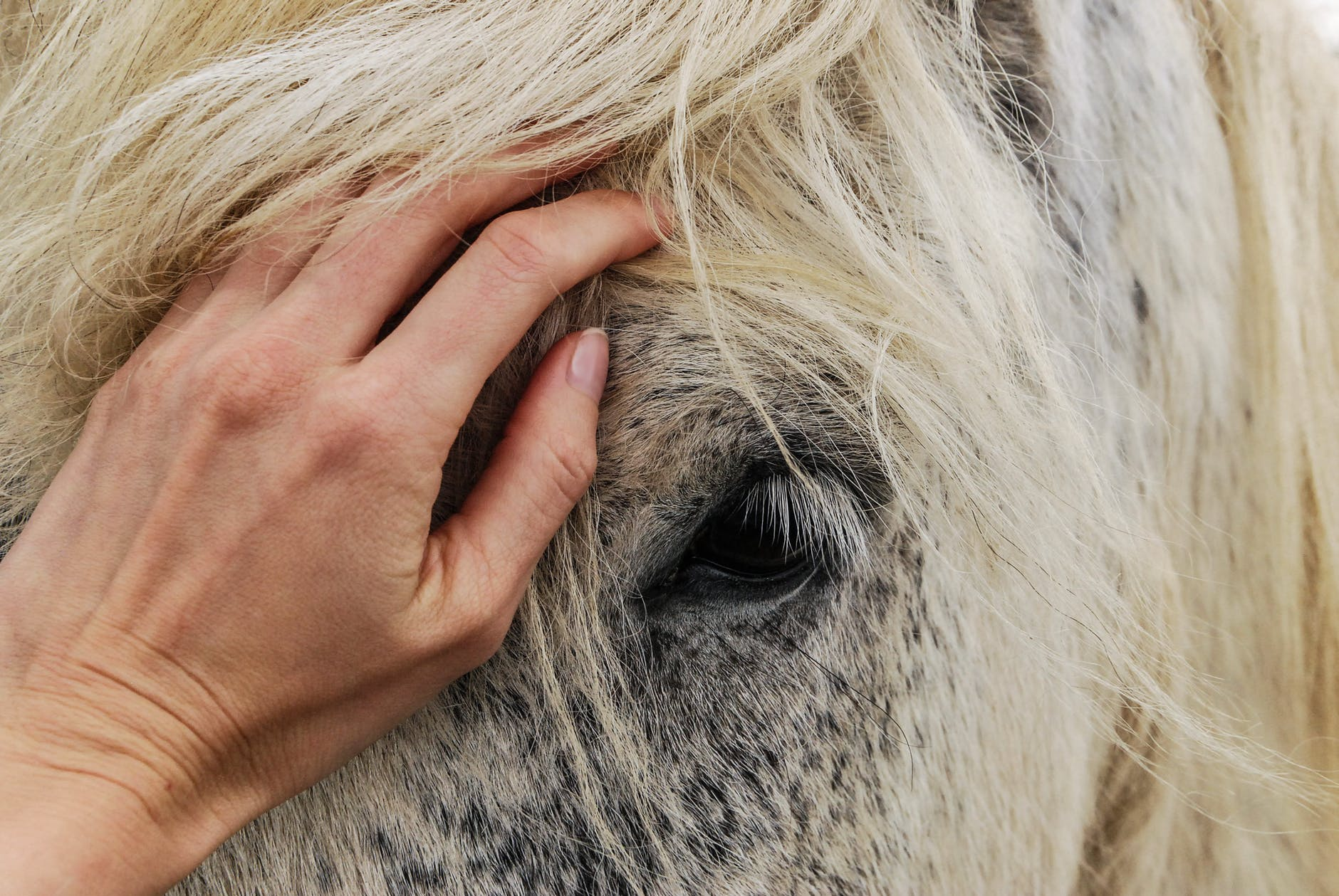 person hand touching the head of a white horse