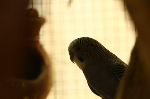 Бесплатное стоковое фото с волнистый попугайчик, домашняя птица, птица