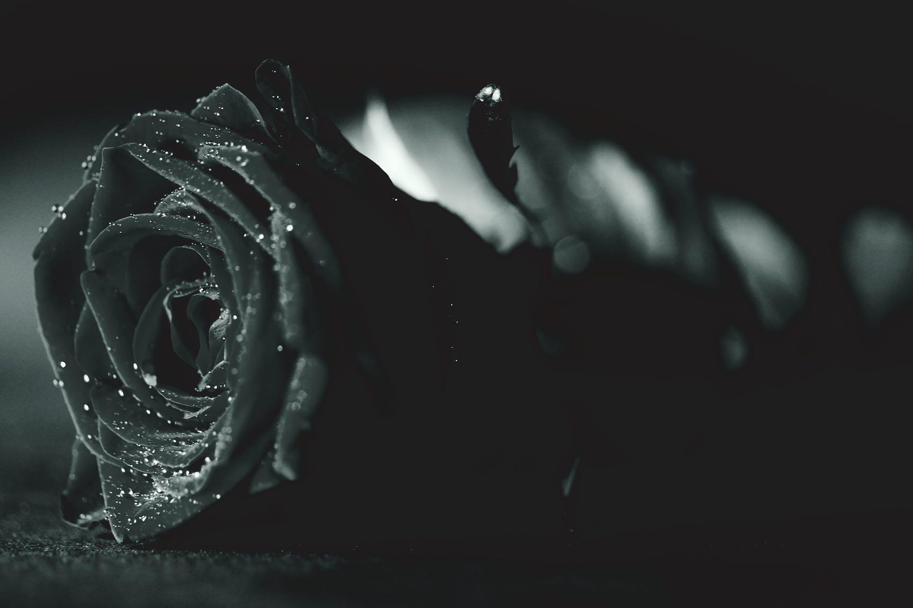 gambar bunga mawar hitam layu