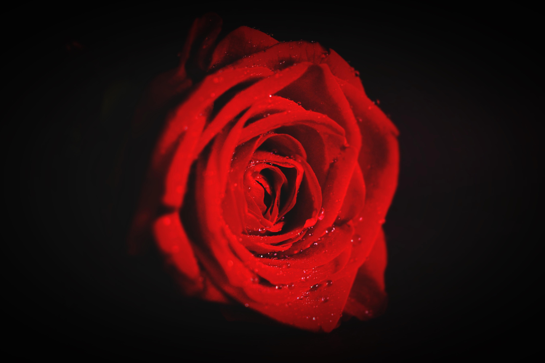 red rose flower wallpaper free stock photo