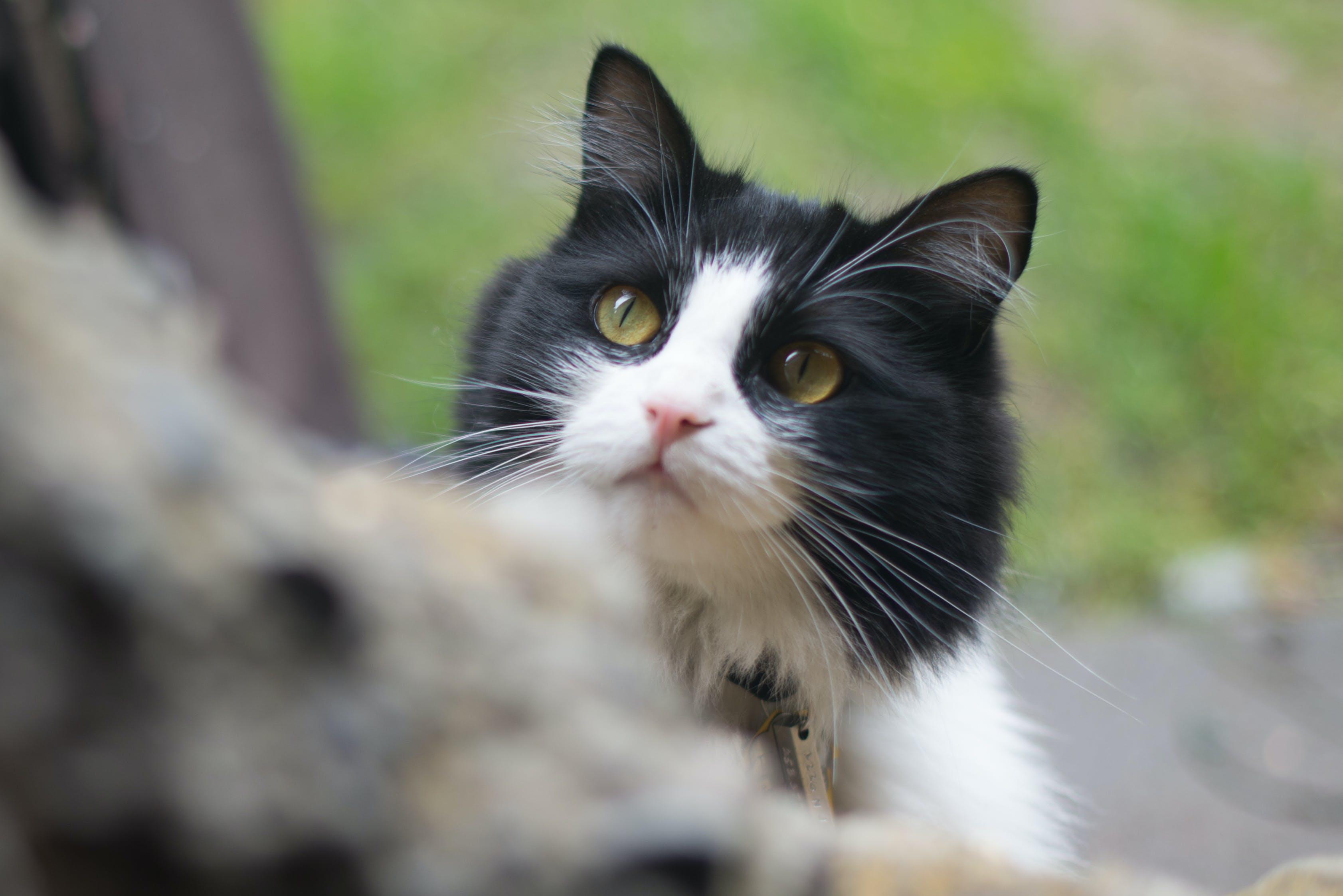 Ingyenes stockfotó macska témában