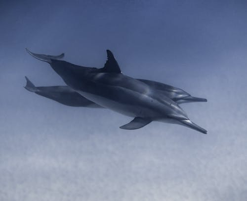 Wild dolphins swimming peacefully together underwater in crystal bright sea near sand bottom