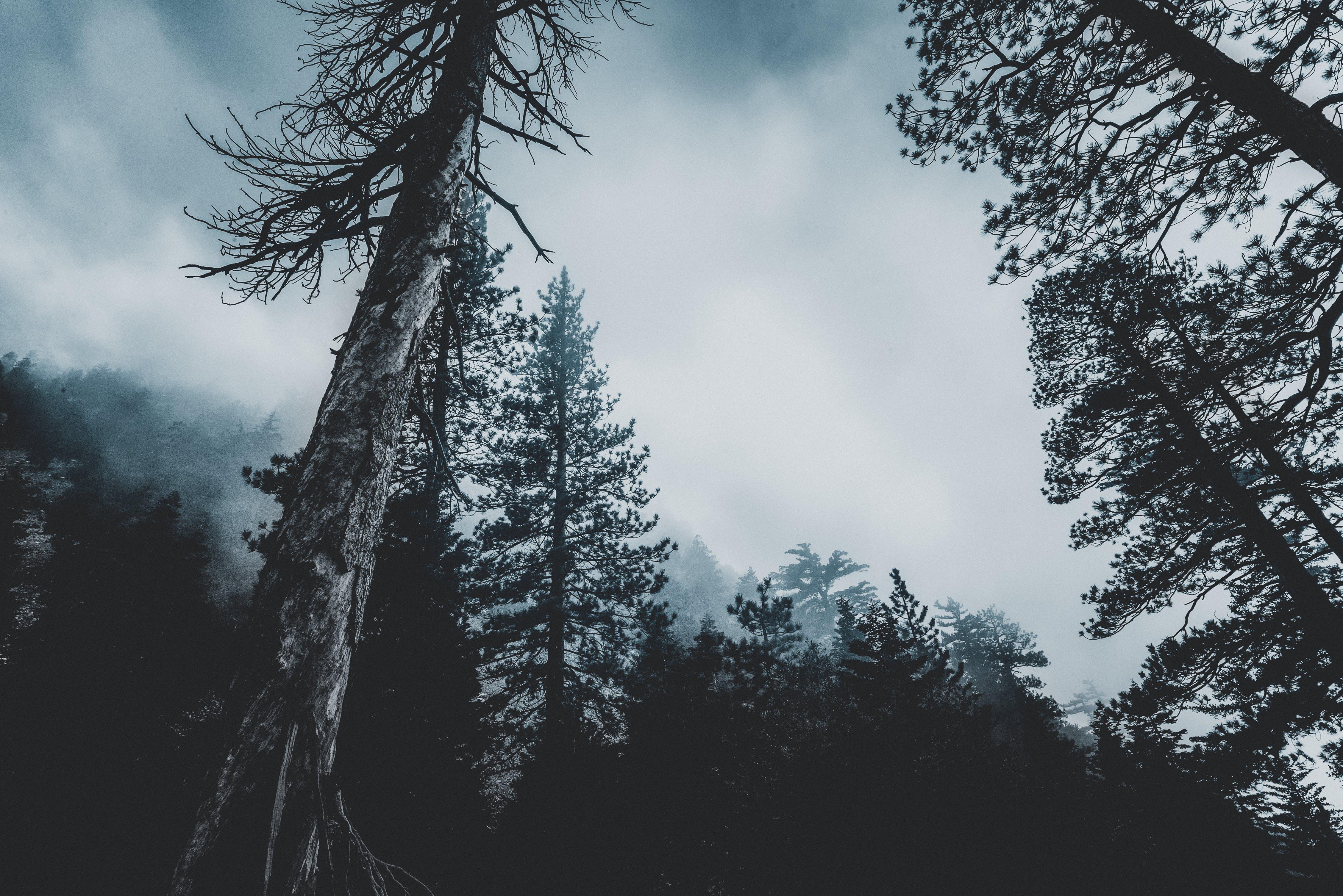 conifer, evergreen, fir trees