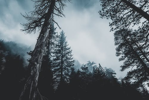 Ingyenes stockfotó erdő, fák, fenyőfák, köd témában