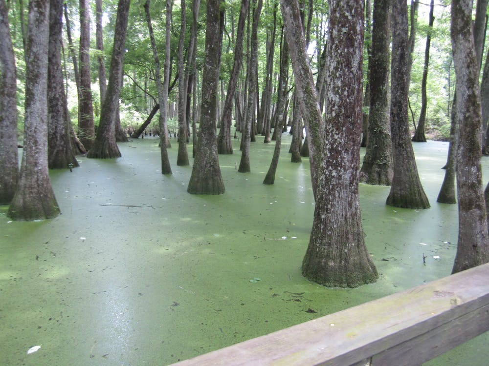 Free stock photo of Cypress Swamp on the Natchez Trace