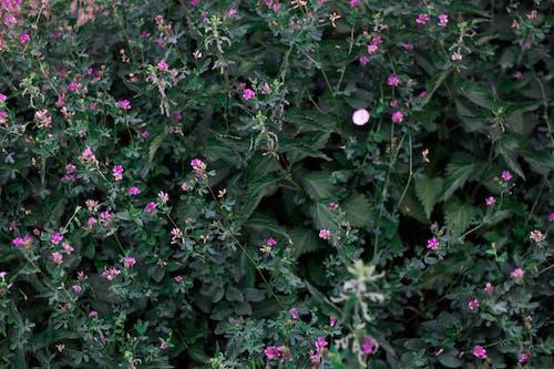 Free stock photo of beautiful flowers, nettle, pink flower