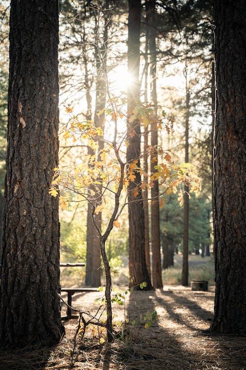 Základová fotografie zdarma na téma borovice, dřevo, kmen, krajina