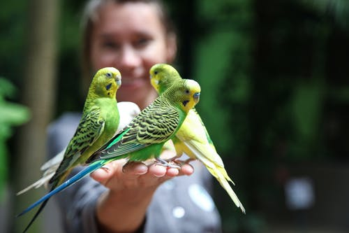 Unrecognizable woman with small budgerigars