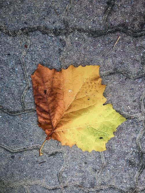 #autumnleaf, #maple, かえで, 楓の葉の無料の写真素材