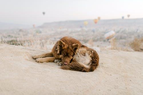 Cane Marrone Sdraiato Sulla Sabbia