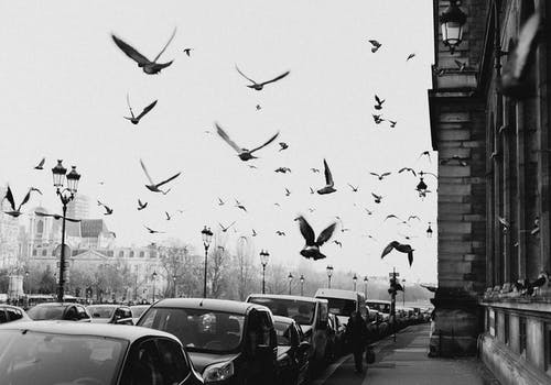 Grayscale Photo of Flock of Birds Flying over the Street