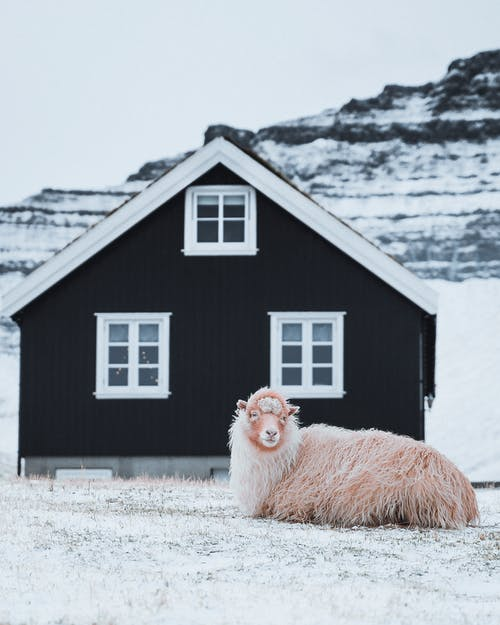 Side view of cute sheep lying alone on ground near house in winter