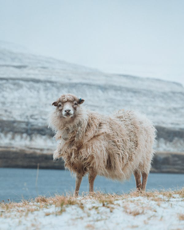 White fluffy curious sheep standing on pasture in countryside in cold winter day