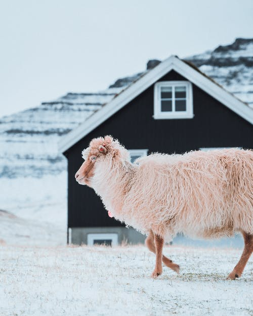 Adorable woolly sheep walking along rural house in beautiful countryside in cold winter day