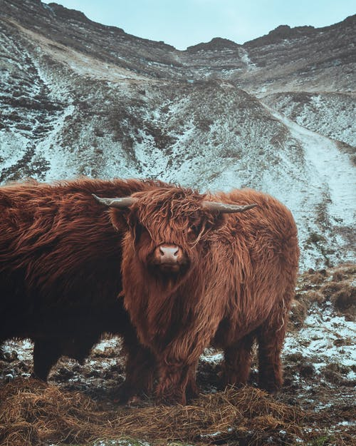 Cows grazing on pasture in mountainous terrain
