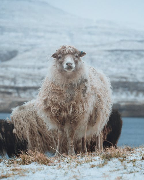 Flock of white and black sheep standing on snowy grass near mountain in winter