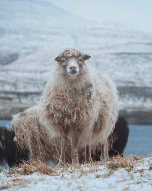 Białe Owce Na Polu Brązowej Trawy