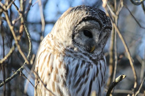 Free stock photo of barred owl, birds, nature