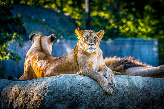 Free stock photo of park, animals, zoo, lion