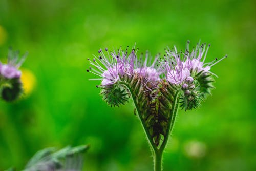 Blossoming Phacelia with gentle flowers and stamens growing on prickly stems in countryside on blurred background