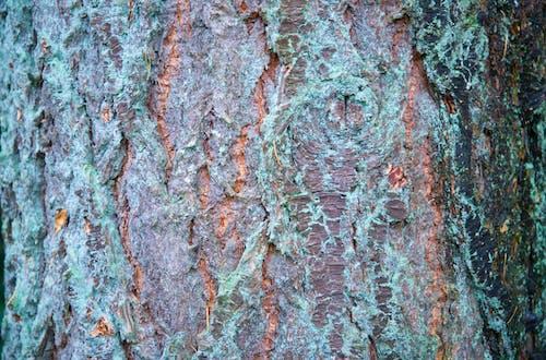 原本, 吠, 外殼, 木材 的 免費圖庫相片