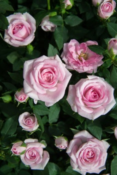 Close Up Photography of Pink Roses Under Sunny Sky