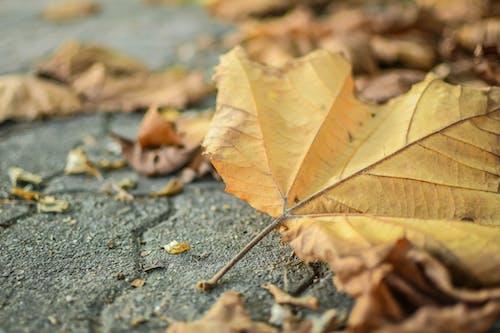 Foto profissional grátis de chão, close, folhagem de outono, folhas de bordo