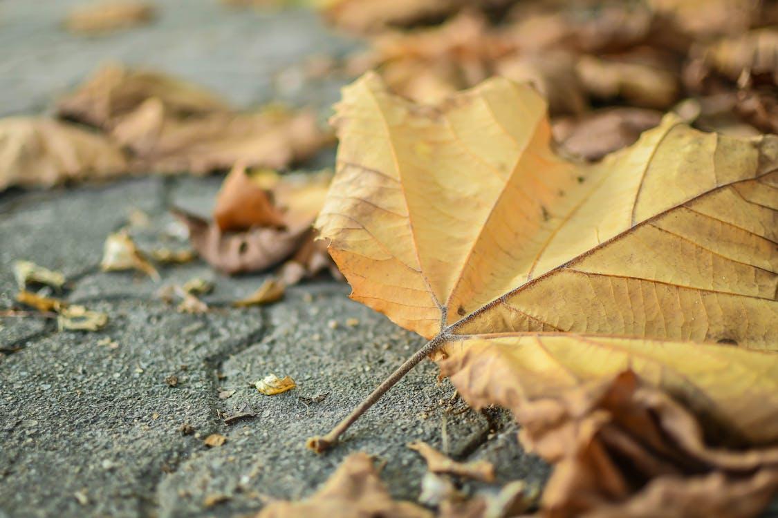 daun gugur, daun jatuh, daun maple