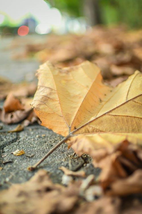 楓の葉, 秋の季節, 紅葉, 緑色の葉の無料の写真素材