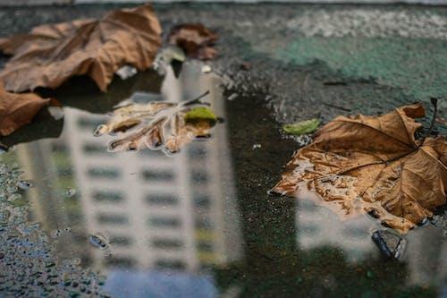 楓の葉, 水たまり, 水中の葉, 秋の季節の無料の写真素材