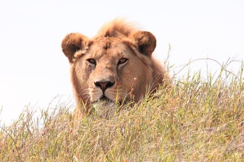 Imagine de stoc gratuită din animal, animal sălbatic, căutare, coamă