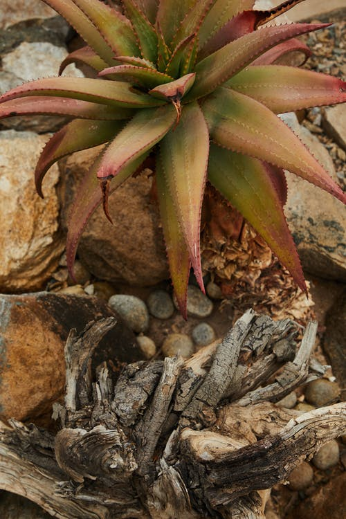 Succulent plant growing neat stones and dry branches