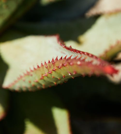 Top view closeup of green leaf with sharp prickles of aloe succulent plant