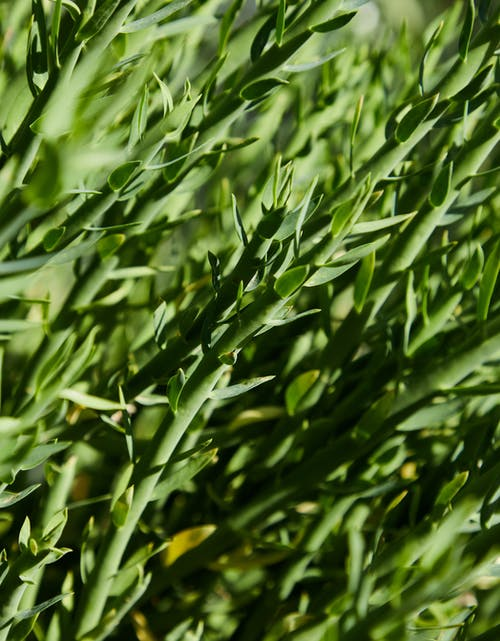 Closeup of bright green plant of Tarragon with small leaves growing in field