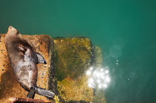Steller sea lion lying on stone surface near sea in sunny day