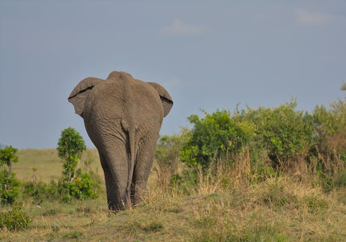 Elephant Walking on Green Grass Field