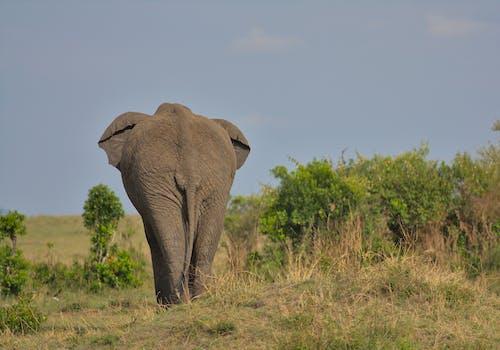 Kostenloses Stock Foto zu afrikanisch, afrikanischer elefant, arsch
