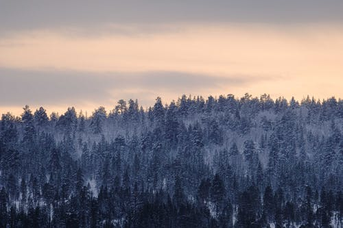 Scenic view of overgrown coniferous trees covered with snow under cloudy sky in evening in woods