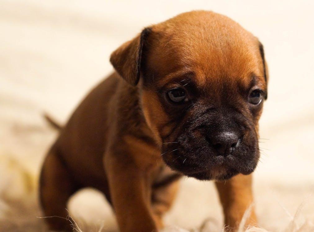 Selective Focus Photography Molosser Puppy