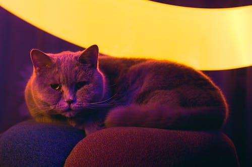 Free stock photo of cat, cat cyberpunk, cat under pink light