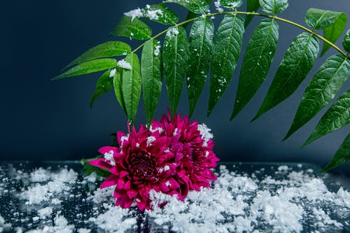 Dahlia bouquet and green leaves placed on table covered with snow