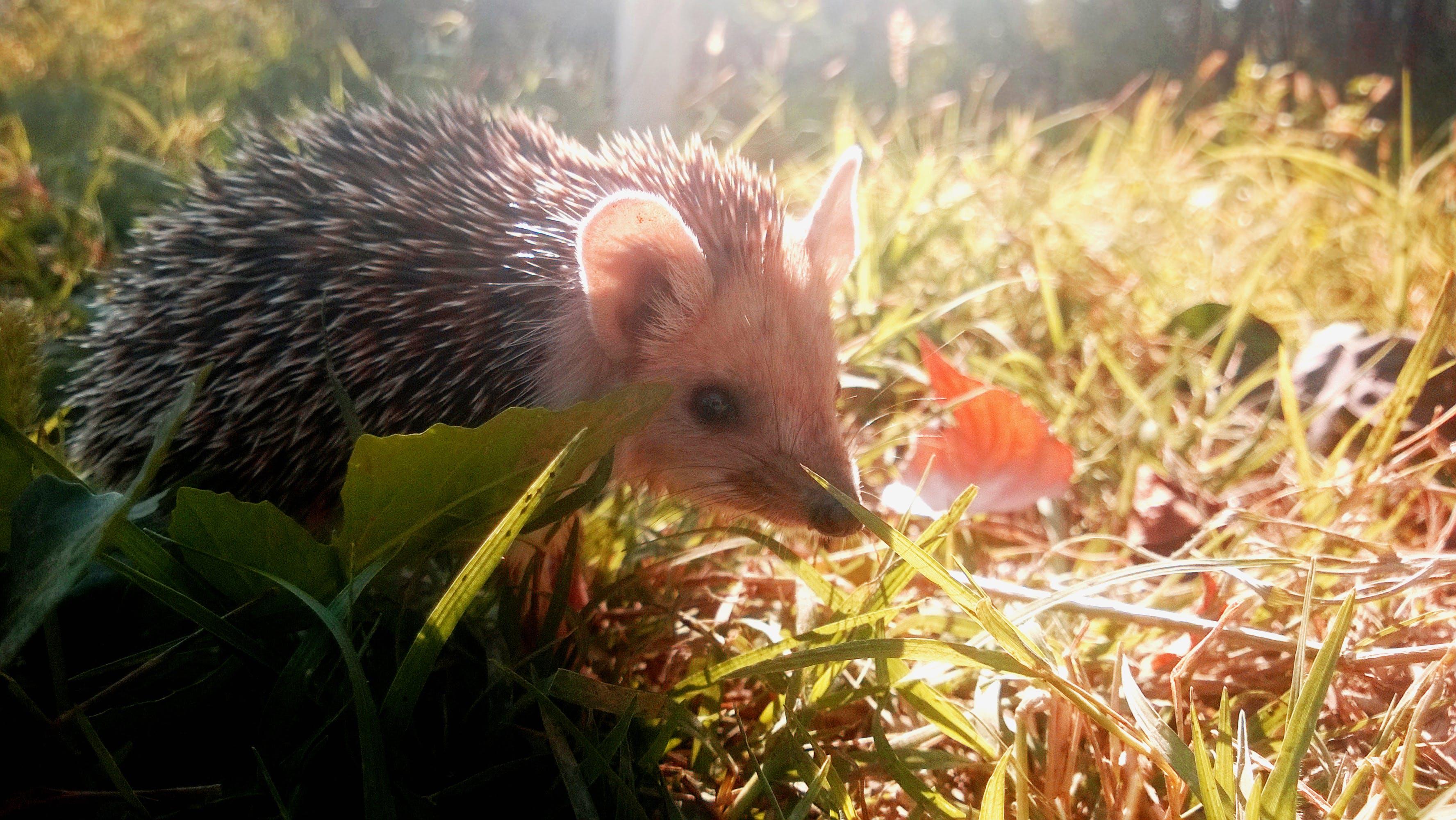 Free stock photo of autumn, hedgehog, light