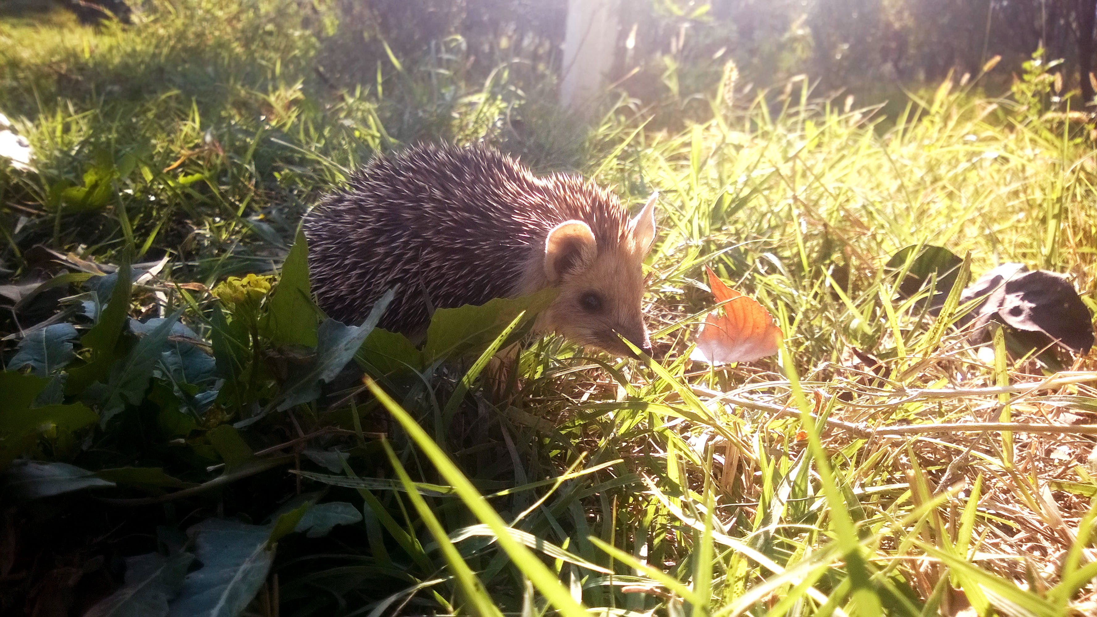 Free stock photo of autumn, field, hedgehog, nature